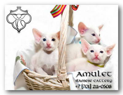 Amulet Siamese cattery